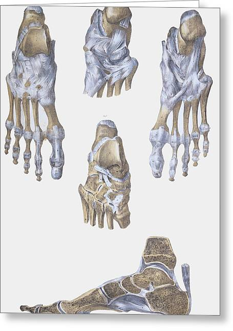Ankle Greeting Cards - Foot Bones And Ligaments Greeting Card by Sheila Terry