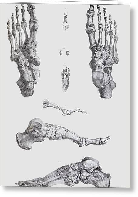 Development Greeting Cards - Foot Bones Greeting Card by Sheila Terry