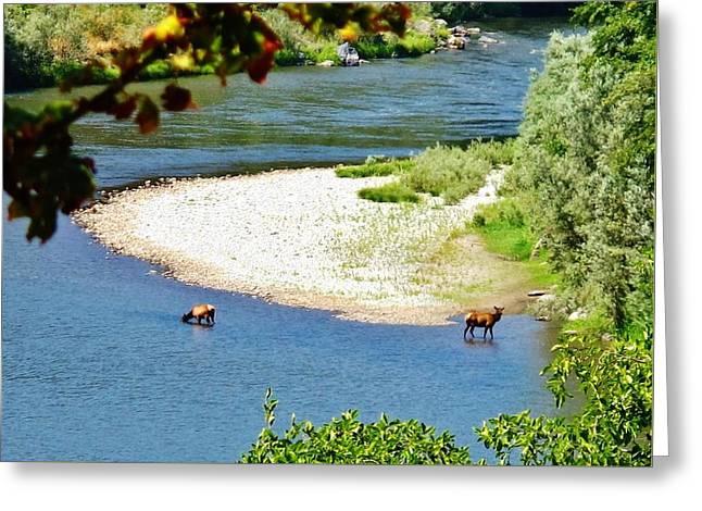 Deer Camp Greeting Cards - Foraging Elk Greeting Card by Wendy Rickwalt