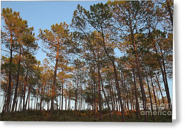 Forest Pine Trees At Sunset Greeting Card by Angelo DeVal