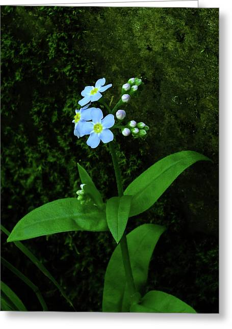 Forget-me-not Greeting Card by Bill Morgenstern