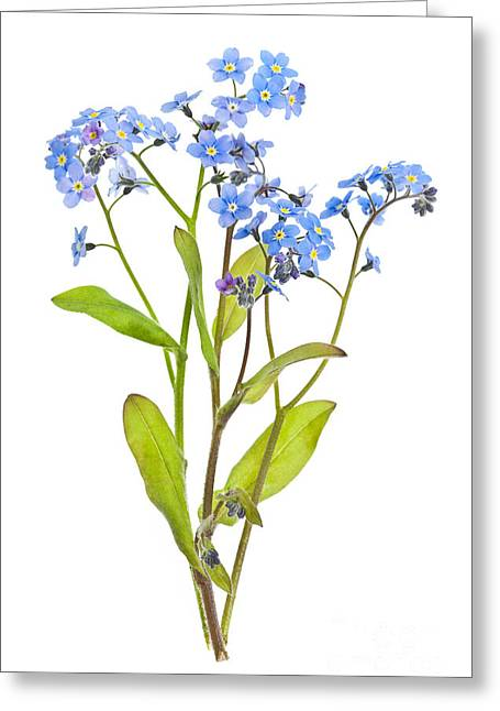 """forget Me Not"" Greeting Cards - Forget-me-not flowers on white Greeting Card by Elena Elisseeva"