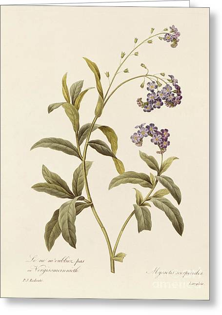 Purple Greeting Cards - Forget Me Not Greeting Card by Pierre Joseph Redoute