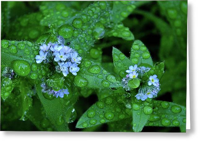 Forget-me-not Waterdrops Greeting Card by Bill Morgenstern
