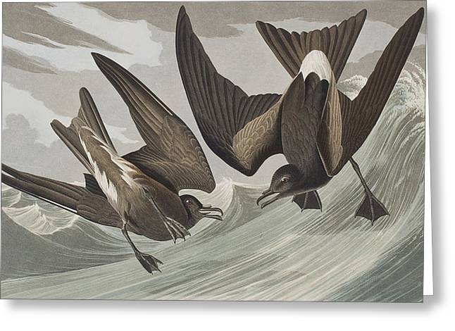 Forks Greeting Cards - Fork-tail Petrel Greeting Card by John James Audubon