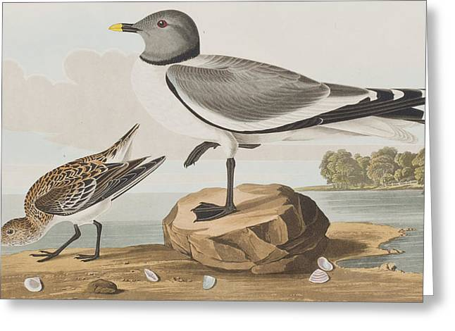Gulls Greeting Cards - Fork-tailed Gull Greeting Card by John James Audubon