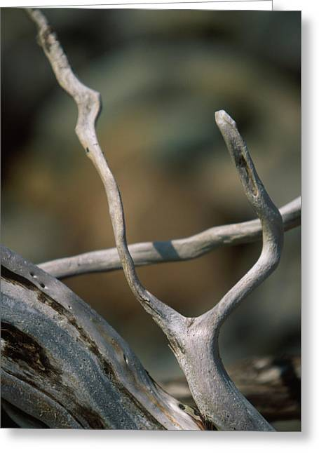 Forked Branch Greeting Card by Soli Deo Gloria Wilderness And Wildlife Photography