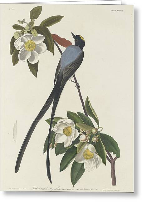 Forked-tail Flycatcher Greeting Card by John James Audubon
