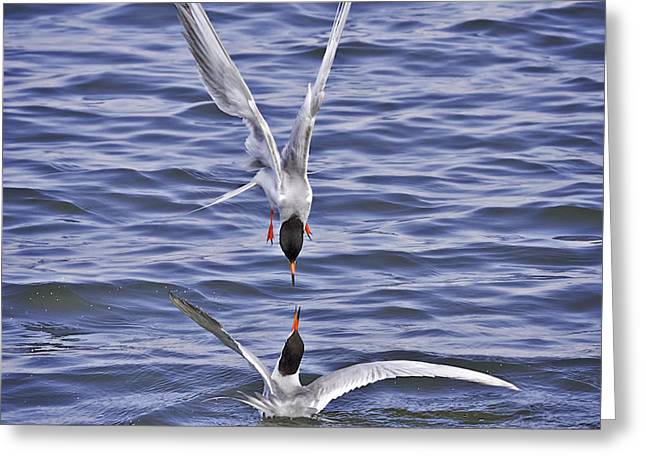 Tern Greeting Cards - Forster Terns Love From Air To Sea Greeting Card by Leslie Reagan -  Joy To The Wild Photos