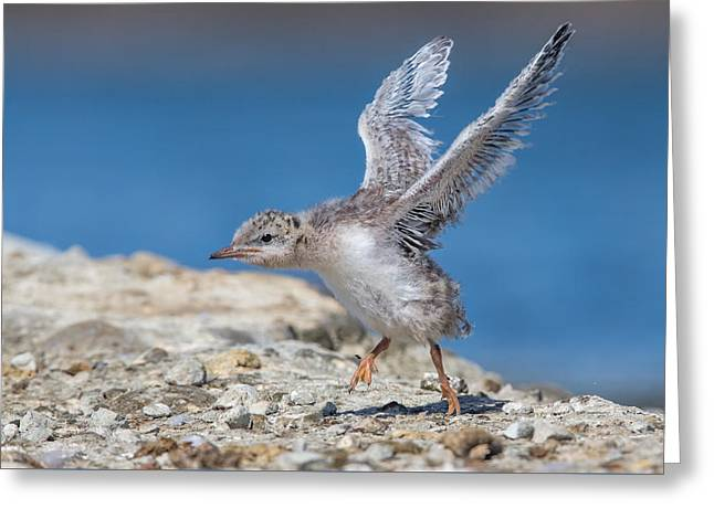Tern Greeting Cards - Forsters Tern Chick Greeting Card by Phoo Chan
