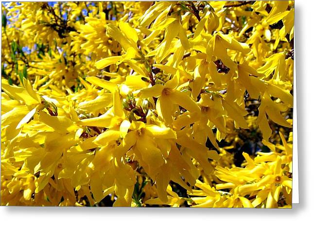 Forsythia Greeting Cards - Forsythia Greeting Card by Will Borden