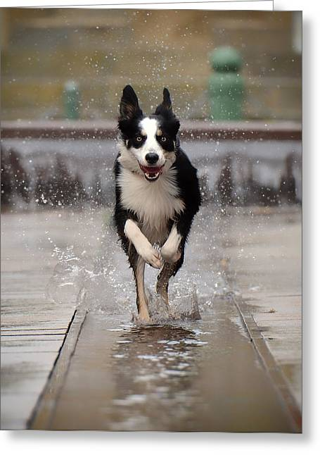 Collie Greeting Cards - Fountain Frolic Greeting Card by Katrin Bellyeu