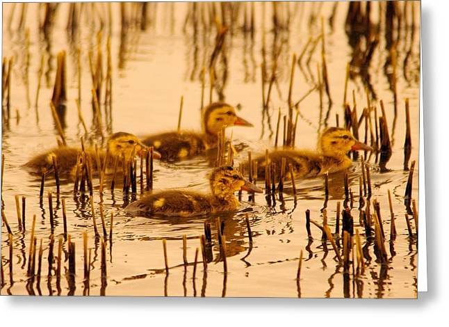 Water Fowl Greeting Cards - Four Baby Duckies Greeting Card by Jeff  Swan