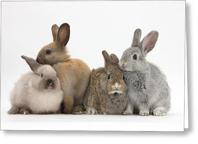 Baby Mammals Greeting Cards - Four Baby Rabbits Greeting Card by Mark Taylor