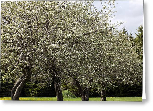 Maine Spring Greeting Cards - Four Bloomers Greeting Card by William Tasker