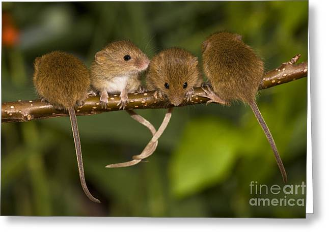 Mouse Photographs Greeting Cards - Four Eurasian Harvest Mice Greeting Card by Jean-Louis Klein & Marie-Luce Hubert