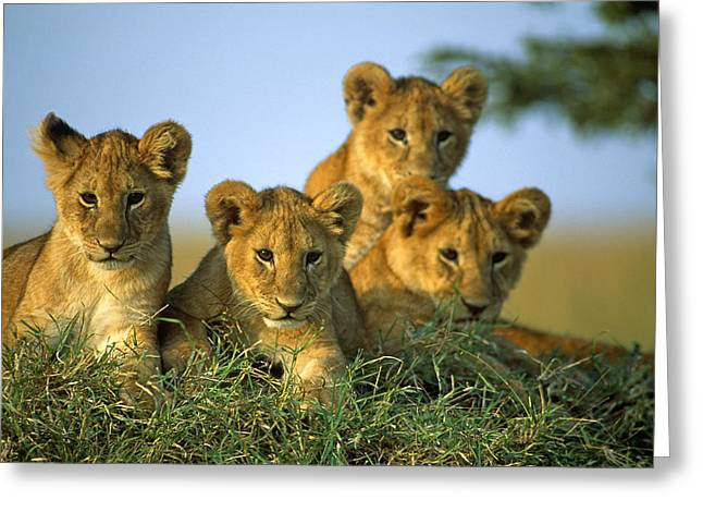 Four Lion Cubs Greeting Card by Johan Elzenga