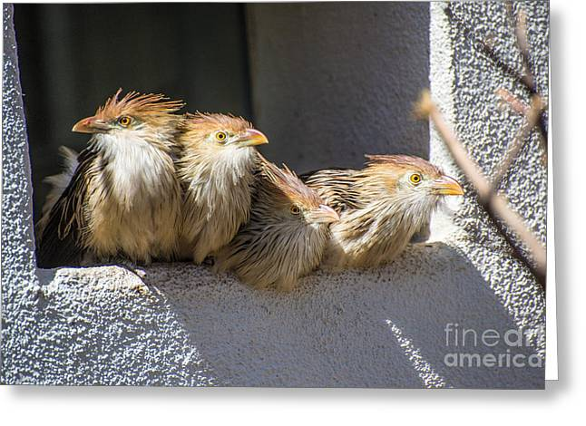 Paraguay Greeting Cards - Four Stooges - Guira Cuckoos Greeting Card by Gary Whitton