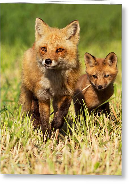 Clever Photographs Greeting Cards - Fox Family Greeting Card by Mircea Costina Photography