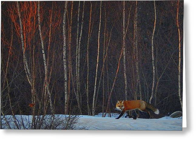 Annapolis Valley Greeting Cards - Fox hunting Greeting Card by Karen Cook