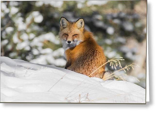 Fox In A Winter Wonderland #2 Greeting Card by Mindy Musick King