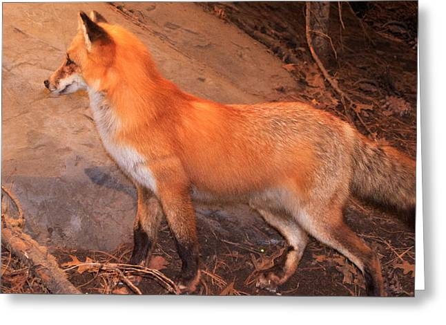Purchase Greeting Cards - Fox in the woods  Greeting Card by Paul  McGovern