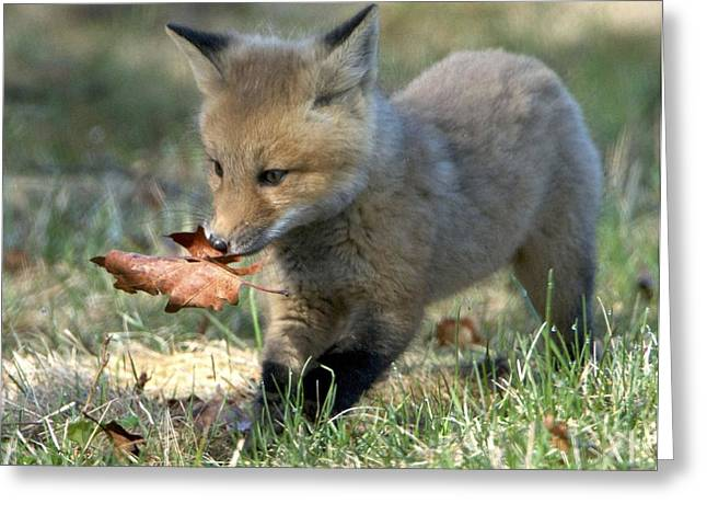 Maine Spring Greeting Cards - Fox Kit Greeting Card by Gerard Monteux