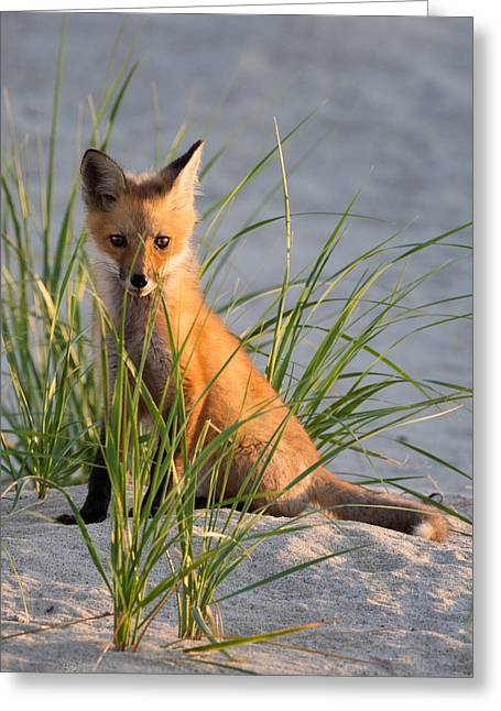 Massachusetts Greeting Cards - Fox Kit Portrait Greeting Card by Bill Wakeley