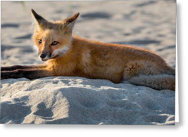 Fox Photographs Greeting Cards - Fox On The Beach Greeting Card by Bill Wakeley