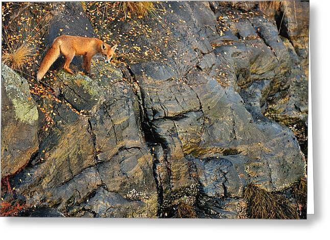 Fox On The Rocks Greeting Card by Yves Adams