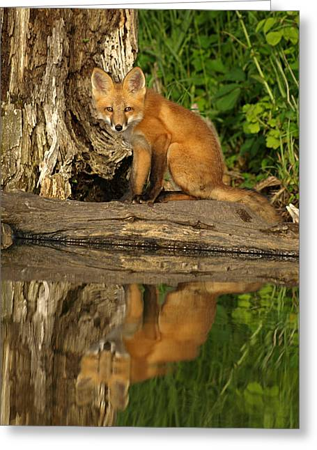 Puppies Photographs Greeting Cards - Fox Reflection Greeting Card by James Peterson