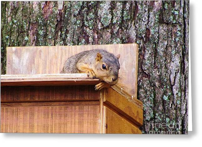 Fox Squirrel Greeting Cards - Fox Squirrel 10 Greeting Card by James Seitzinger
