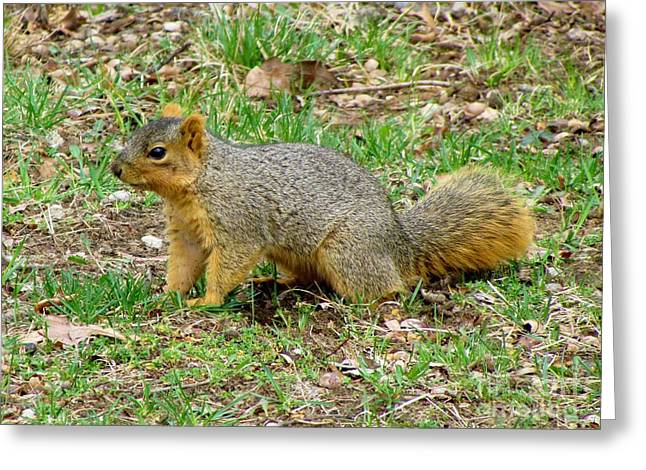 Fox Squirrel Greeting Cards - Fox Squirrel 7 Greeting Card by James Seitzinger