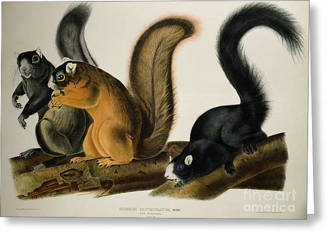 Wild Life Drawings Greeting Cards - Fox Squirrel Greeting Card by John James Audubon
