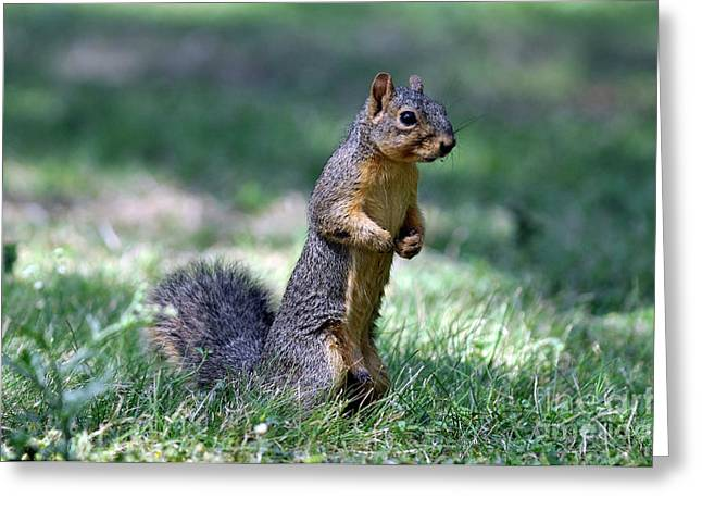 Fox Squirrel Greeting Cards - Fox Squirrel Greeting Card by Laura Mountainspring