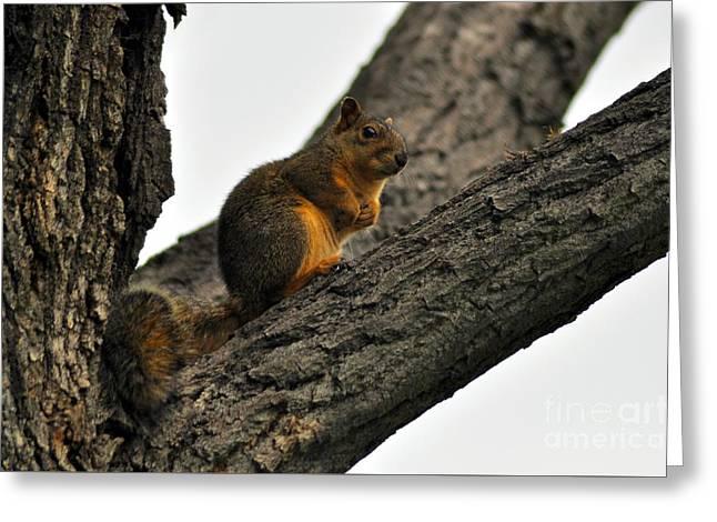 Fox Squirrel Greeting Cards - Fox squirrel Greeting Card by Merrimon Crawford