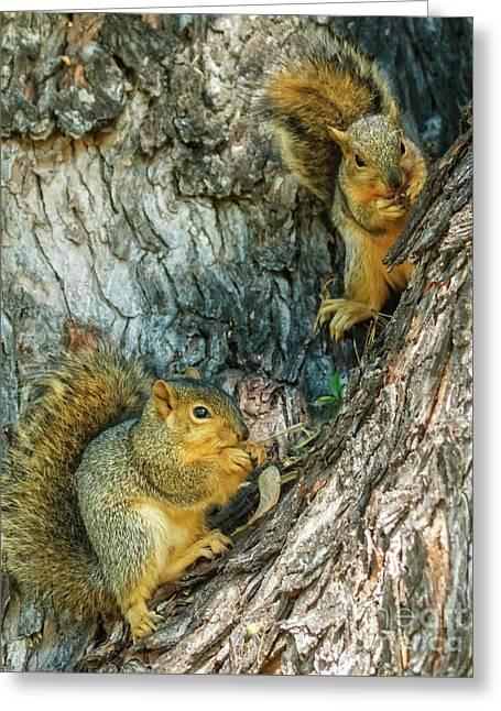 Fox Squirrels Greeting Card by Robert Bales