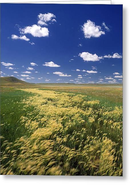 Long Shot Greeting Cards - Fox Tail Barley, Grasslands National Greeting Card by Darwin Wiggett
