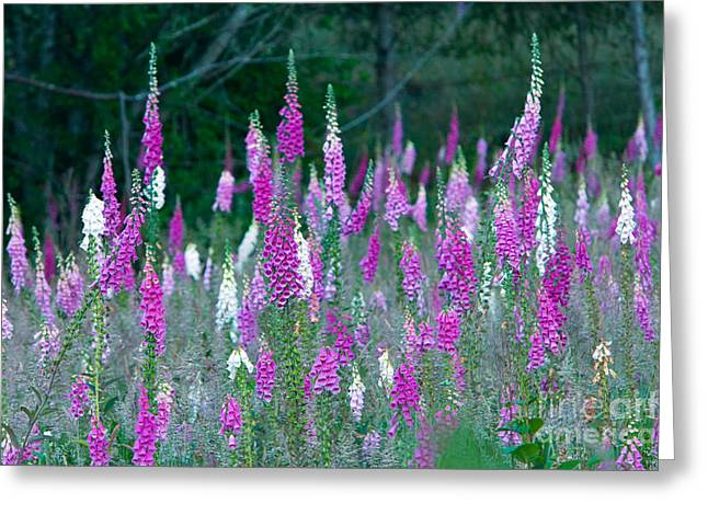 Foxglove Flowers Greeting Cards - Foxglove Flowering Greeting Card by Inga Spence