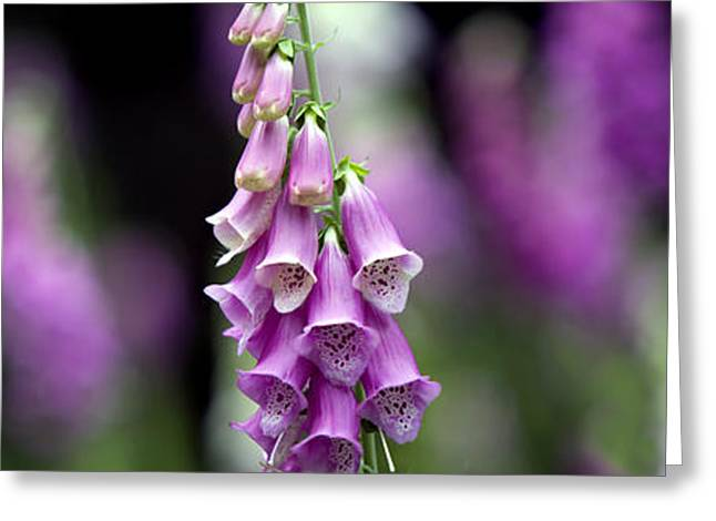 Blooms Greeting Cards - Foxglove Panoramic Greeting Card by Tim Gainey