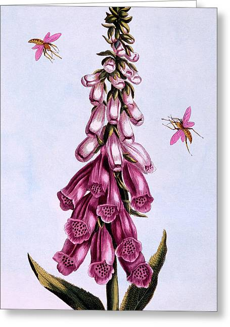 Foxglove Greeting Card by Pierre-Joseph Buchoz