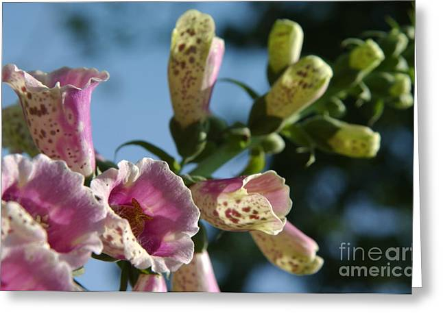 Foxglove Flowers Photographs Greeting Cards - Foxglove to the Sky Greeting Card by Anna Lisa Yoder