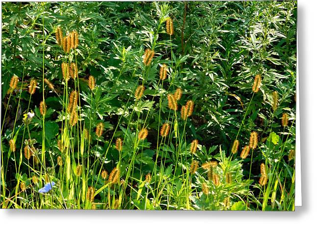 Herby Greeting Cards - Foxtail Grass 1 Greeting Card by Lanjee Chee