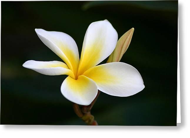 Plumeria Greeting Cards - Fragrant Hawaiian Plumeria Maui Greeting Card by Pierre Leclerc Photography