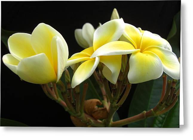 Frangipani Blossoms Greeting Card by Frederic Kohli