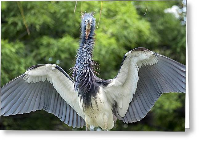 Tricolored Heron Greeting Cards - Frazzled Mom Greeting Card by Kenneth Albin