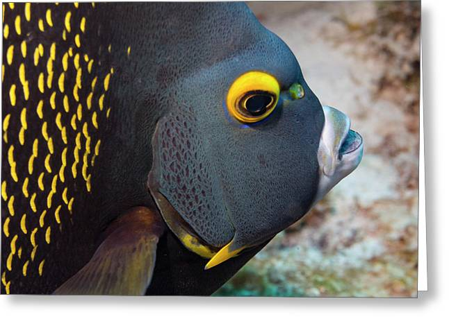 French Angel Fish Closeup Greeting Card by Jean Noren