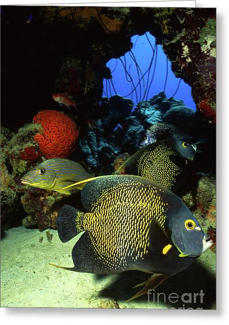 Bonaire Greeting Cards - French Angelfish, Bonaire, Netherlands Greeting Card by Beverly Factor