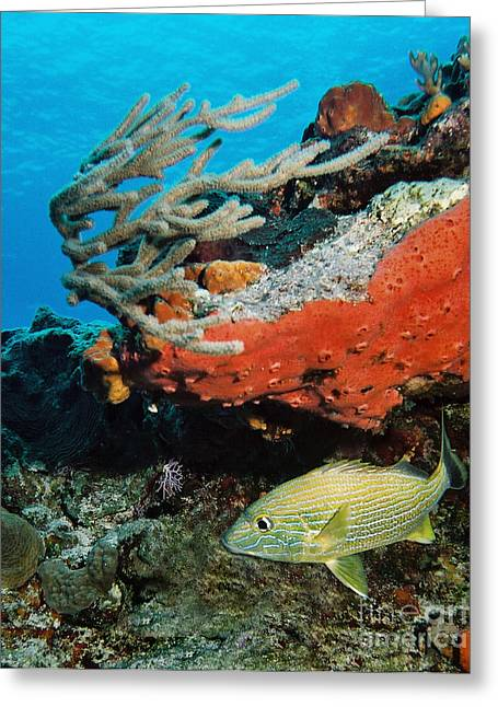 Grunts Greeting Cards - French Grunt and Coral Cozumel Greeting Card by Ray Manning