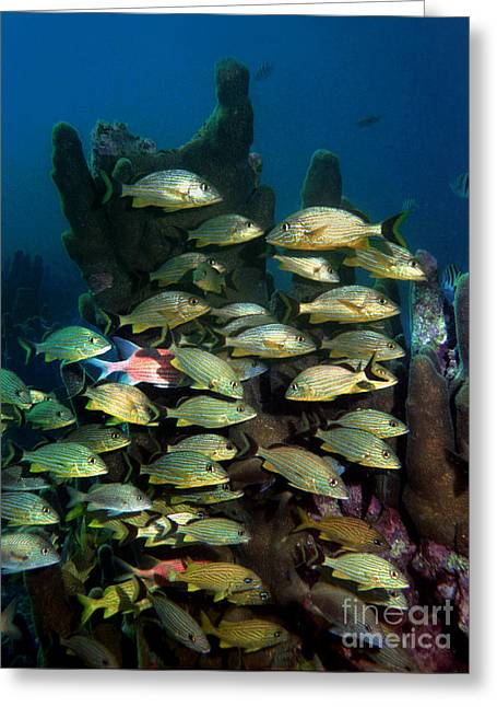 Grunts Greeting Cards - French Grunts Pillar Coral Florida Greeting Card by Ray Manning